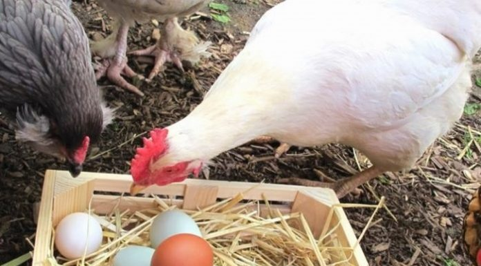 Innovative exploitation of meat from egg-production chickens