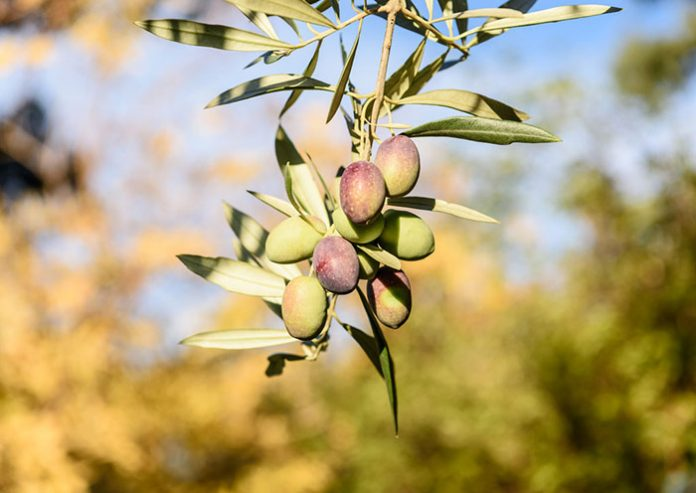 olive-tree-times