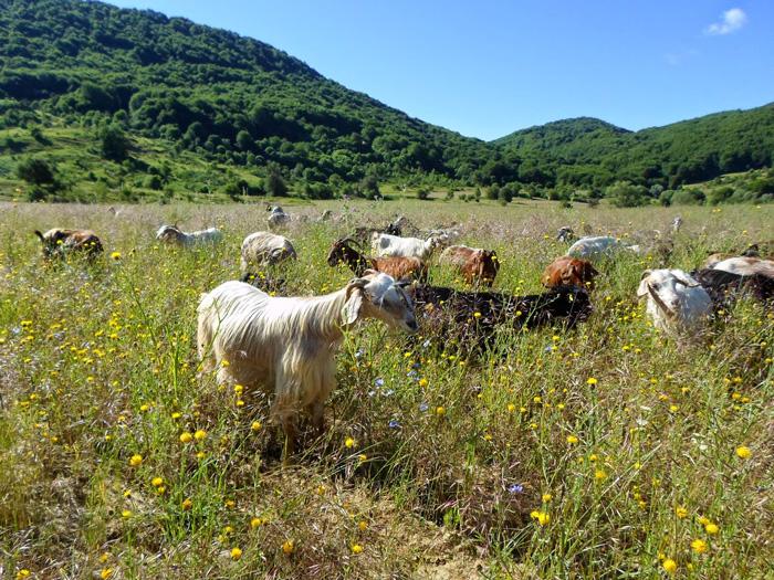 Το γίδινο γάλα και κρέας αποτελούσαν πάντα σημαντική πηγή πρωτεϊνών ζωικής προέλευσης για τους Έλληνες, που τους συνόδευε από κοντά στη μακραίωνη ιστορία τους με αμείωτη ένταση.