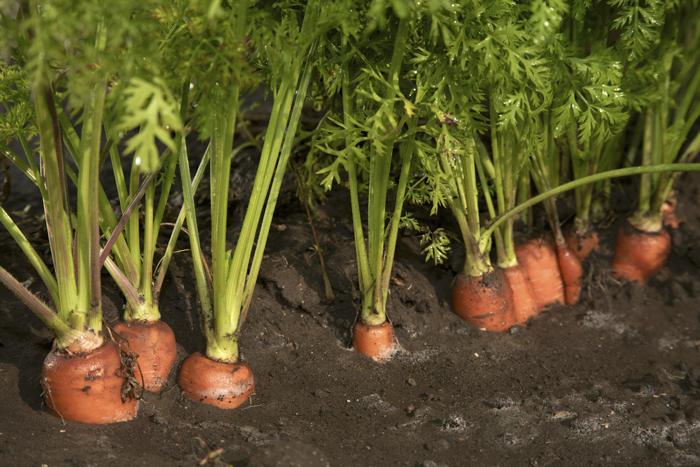 Πρόκειται για μια καλλιέργεια με ιδιαίτερες απαιτήσεις σε έδαφος, νερό, κλιματικές συνθήκες, φυτοπροστατευτικές επεμβάσεις και λιπάνσεις