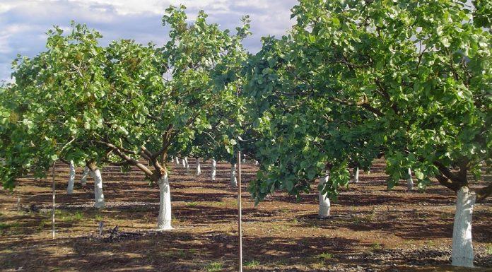 Αποδόσεις και οικονομικά στοιχεία για την καλλιέργεια