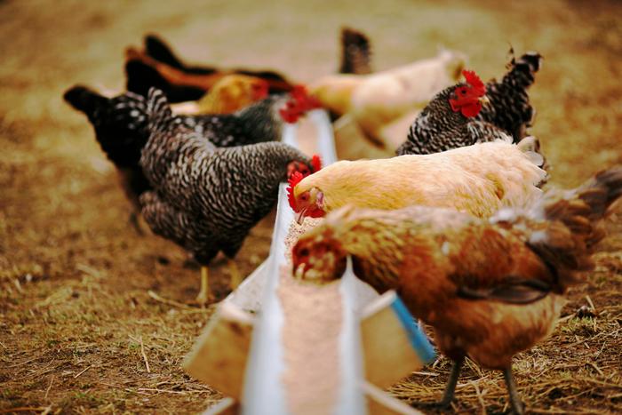 #6 Πτηνοτροφία: Παρόν και μέλλον