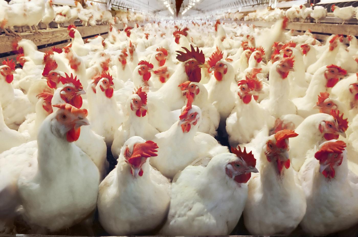 Πτηνοτροφία: Παρόν και μέλλον