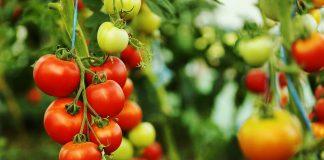 Ντομάτα Θερμοκηπίου: Ευρωπαϊκή υπερδύναμη παρά τα προβλήματα