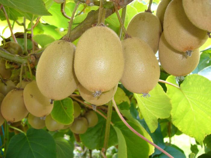 Το ακτινίδιο είναι ένα φυτό ευπαθές σε αντίξοες ατµοσφαιρικές συνθήκες και έχει ανάγκη από ειδική προστασία κατά τα δύο πρώτα έτη της ζωής του
