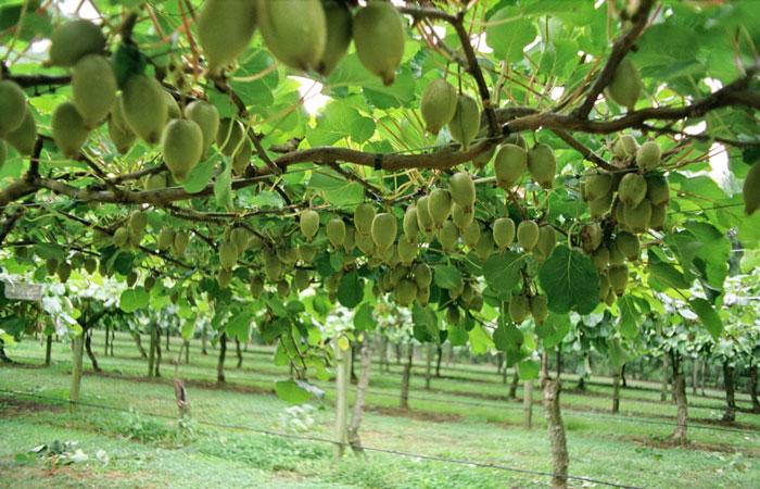 Το µέλλον του ελληνικού ακτινιδίου είναι ευοίωνο και οι Έλληνες παραγωγοί, που έχουν επενδύσει στην καλλιέργεια, µπορούν, ακολουθώντας τα σωστά βήµατα, να έχουν ακόµη µεγαλύτερο όφελος.
