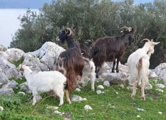 Μέτρα στήριξης της κτηνοτροφίας στο Πρόγραμμα Αγροτικής Ανάπτυξης (ΠΑΑ) 2014-2020