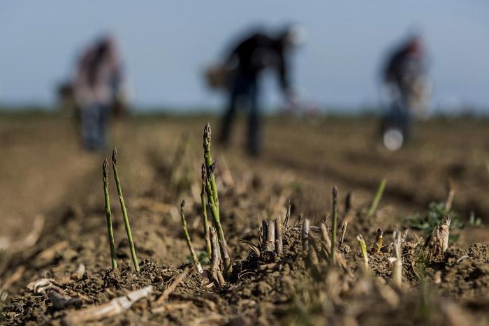 Η προετοιμασία του εδάφους με μια βαθιά άροση είναι απαραίτητη, καθώς το σπαράγγι, έχοντας εκτεταμένο ριζικό σύστημα, απαιτεί βαθιά χωράφια