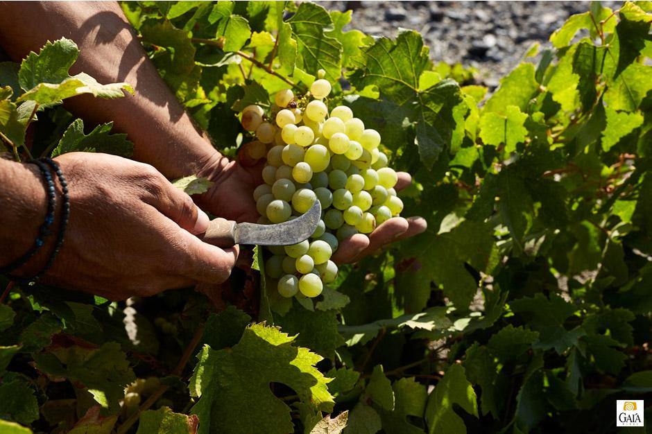 gaia-wines-krasi