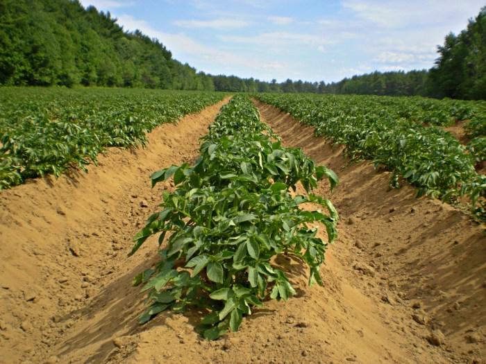 Κάλιο για αύξηση της απόδοσης και βελτίωσης των ποιοτικών χαρακτηριστικών της καλλιέργειας