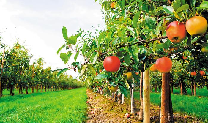 Αναγκαίες οι εφαρμογές του ασβεστίου για τη μηλιά απο νωρίς την άνοιξη