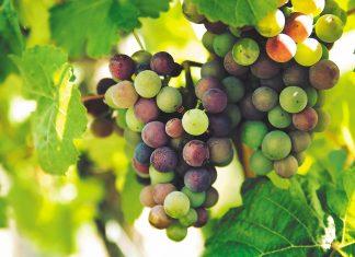 Επιτραπέζιο σταφύλι: Στο µικροσκόπιο το πιο εξαγώγιµο φρούτο της Ελλάδας