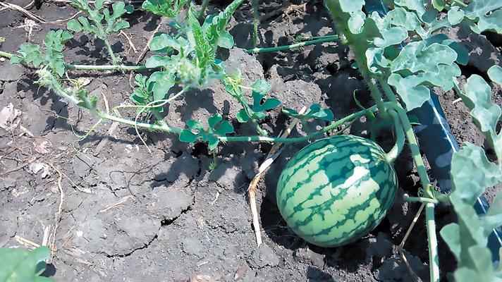 Ευφυής γεωργία στην καλλιέργεια του καρπουζιού: Μείωση 20% της κατανάλωσης νερού, με παράλληλη ποιοτική αναβάθμιση