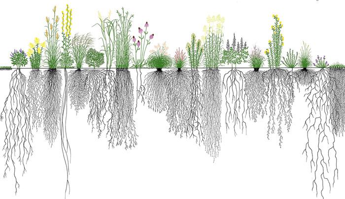 Η τοποθέτηση του λιπάσματος πρέπει να λαμβάνει υπόψη τα χαρακτηριστικά του ριζικού συστήματος της καλλιέργειας