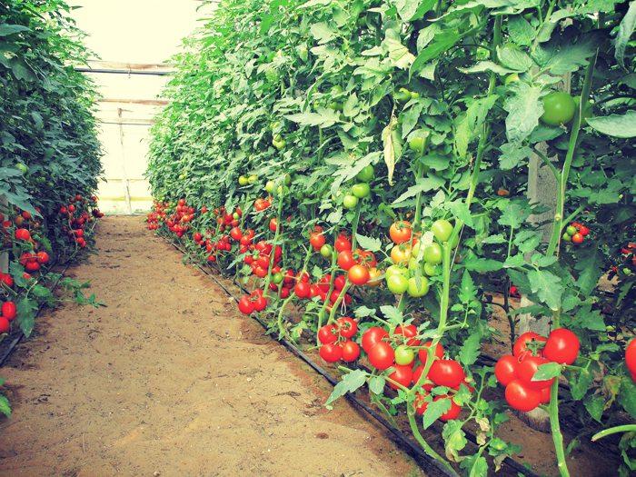 Το Α και το Ω της προστασίας της θερµοκηπιακής τοµάτας
