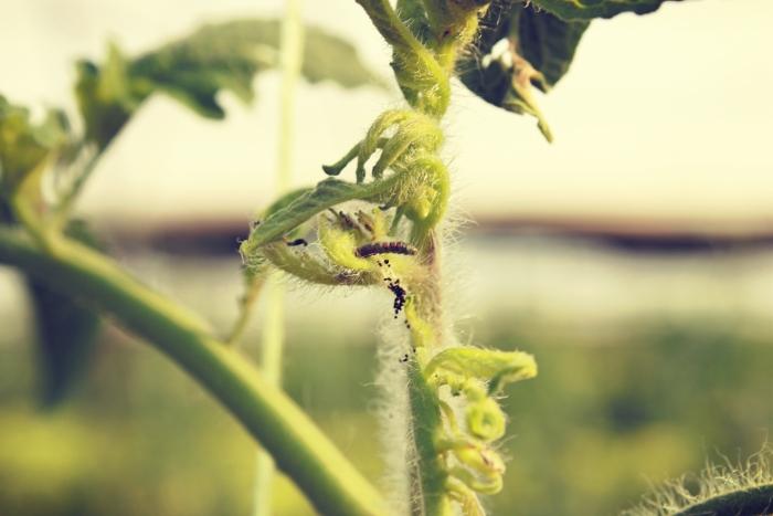 έχει κάνει την εµφάνισή του στην Ελλάδα και στην καλλιέργεια της ντοµάτας ένας πολύ σηµαντικός και επιζήµιος εχθρός, η Tuta Absoluta.