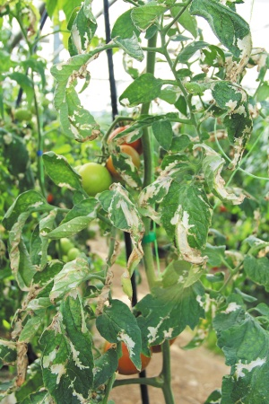 Σηµαντικός εχθρός στην καλλιέργεια της ντοµάτας