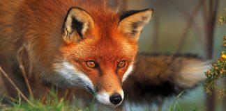 Παγκόσμια ημέρα για τη λύσσα: Έναρξη της 9ης εμβολιακής εκστρατείας των αλεπούδων