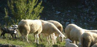 Μυστήριο µε νεκρά αρνάκια απειλεί την παραγωγή στην Κρήτη