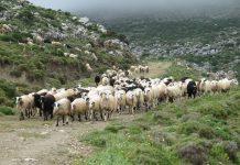 Ενίσχυσης 1,68 εκ. ευρώ στους κτηνοτρόφους των νησιών του Αιγαίου