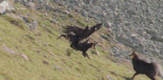 Αετός εναντίον αγριοκάτσικου (βίντεο)
