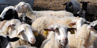 Καυστική επιστολή των κτηνοτρόφων της ΑΜΘ στην ηγεσία του ΥΠΑΑΤ