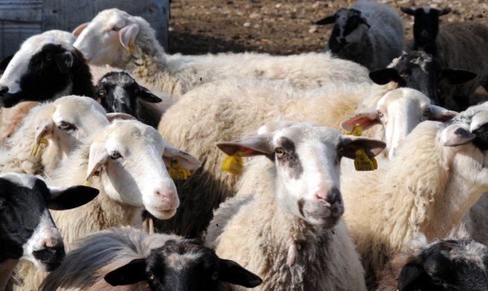 Συλλήψεις δύο ατόμων στην Κρήτη για ζωοκλοπή προβατοειδών