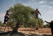 Τι δίνουν οι κρατικές ενισχύσεις για ανασύσταση του φυτικού κεφαλαίου ανά καλλιέργεια