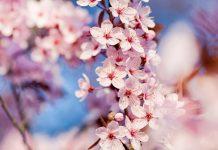 Ενημερωτική εκδήλωση για τη Φυτοπροστασία της Κερασιάς