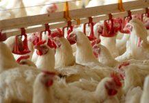 Θανατωθήκαν 56 οικόσιτα πουλερικά στον Σώστη Ροδόπης λόγω κρούσματος γρίπης των πτηνών
