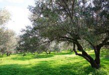 Η ΕΡΓΟΣΕ στηρίζει τις πυρόπληκτες περιοχές φυτεύοντας ελαιόδεντρα