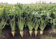 τεύτλα καλλιέργεια