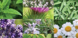 Αρωματικά φαρμακευτικά φυτά: Η «θεραπεία» για την οικονομική κρίση