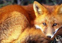 Αιτ/νια: Ολοκληρώθηκε ο εμβολιασμός των κόκκινων αλεπούδων κατά της λύσσας