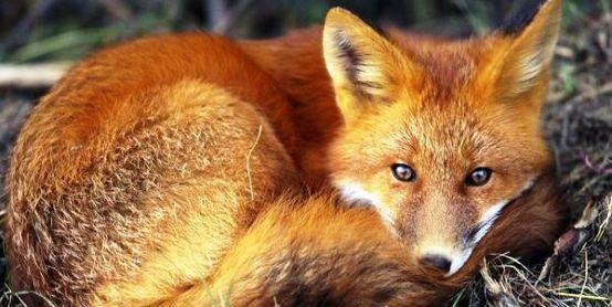 Αιτωλοακαρνανία: Ξεκίνησαν οι εναέριοι δολωματικοί εμβολιασμοί κόκκινων αλεπούδων κατά της λύσσας