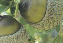 Αιτωλοακαρνανία: Εναλλακτική λύση τα βαφικά φυτά