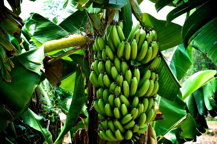 Μύκητας απειλή με πλήρη εξαφάνιση τη μπανάνα