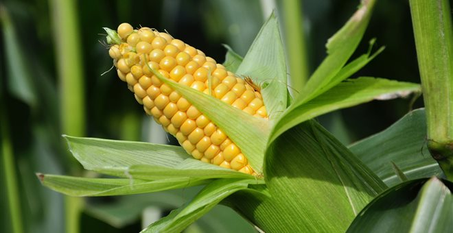 ΥΠΕΚΑ: Δημόσια Διαβούλευση για το σχέδιο νόμου για την απαγόρευση της καλλιέργειας ΓΤΟ