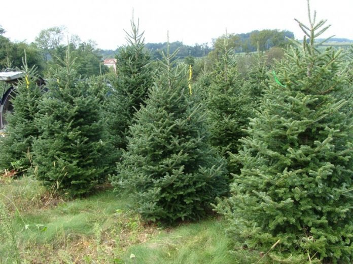 Ικανοποιημένοι από τις πωλήσεις χριστουγεννιάτικων δέντρων οι παραγωγοί
