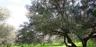 Ενημέρωση για τον επιβλαβή οργανισμό καραντίνας xylella fastiosa