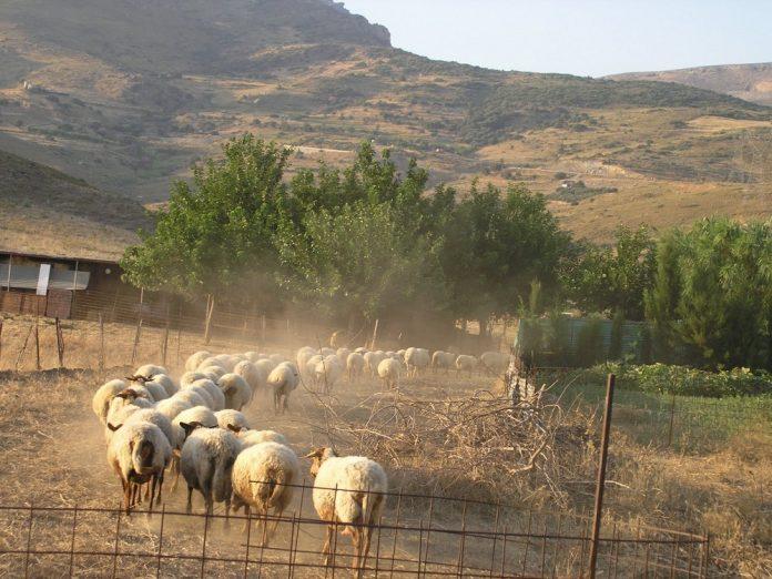 Ενστάσεις για τον νέο χάρτη της εξισωτικής από τους κτηνοτρόφους της ΑΜΘ που κάνουν λόγο για διαχωρισμό της Αν. Μακεδονίας από τη Θράκη