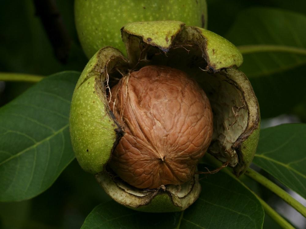 Αλεξανδρούπολη: Ημερίδα για την καλλιέργεια της καρυδιάς