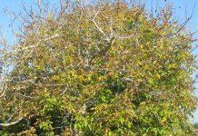 Λάρισα: Ημερίδα για την καλλιέργεια της καρυδιάς