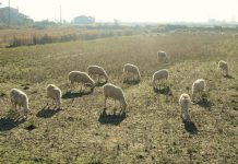 De minimis 9 ευρώ/πρόβατο και 90 ευρώ/βοοειδές στη Λακωνία