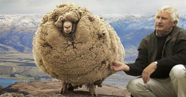 Ένα πρόβατο που την είδε Χίππης! (φώτο)