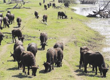 Ξαναβόσκοντας βουβάλια στην Κερκίνη