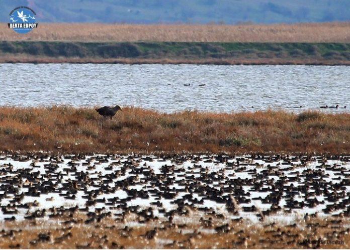 Πάνω από 120.000 πουλιά, από 53 είδη, στο Δέλτα Έβρου