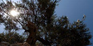 Απούσα η Ελλάδα από την παγκόσμια ελαιοκομία