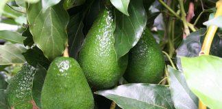 Χανιά: Άγνωστοι έκλεψαν 20 τόνους αβοκάντο - Μήνυση κατέθεσαν οι παραγωγοί