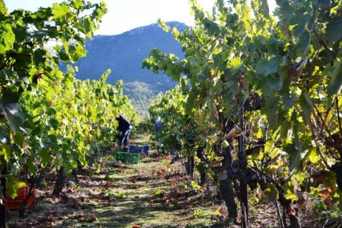 Επιστολή διαμαρτυρίας για τον φόρο στο κρασί από τους αμπελουργικούς συνεταιρισμούς Αττικής